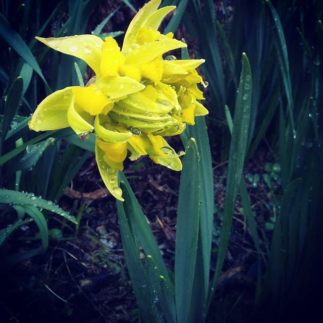 Spring is here.  Or maybe not. #daffodils #weeklyphotochallenge #flowers #spring